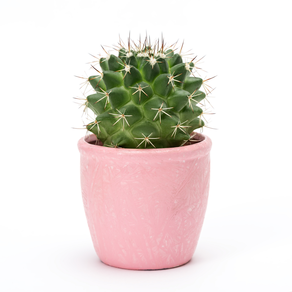 Small-cactus-in-a-pink-pot