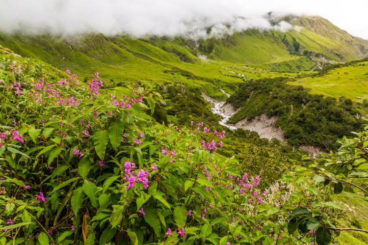 Small-purple-flowers-growing-in-a-lush-valley-in-the-Himalayas